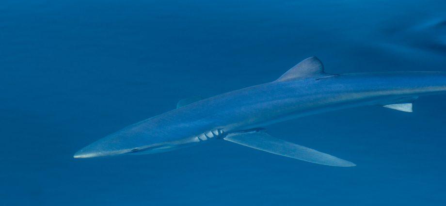 Blue shark. Photo: Adam Searcy/Flickr Creative Commons.