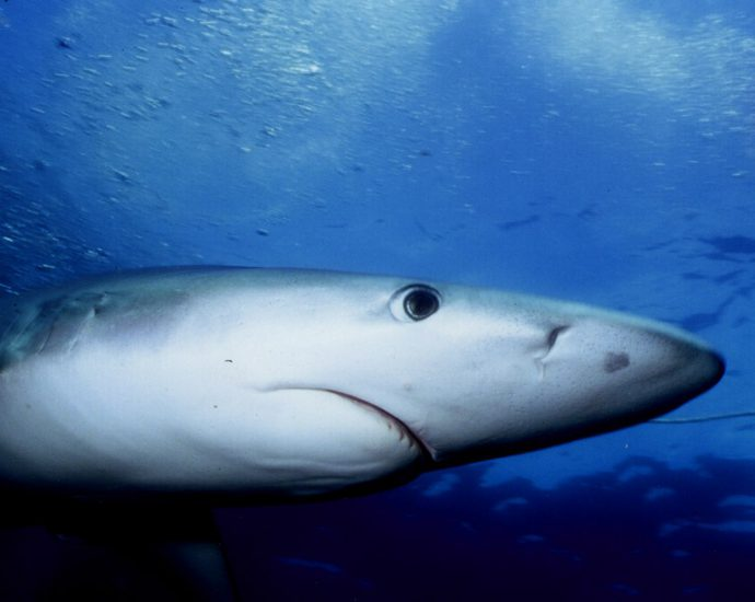 Blue shark. Photo: Josh Krancer/Flickr Creative Commons.