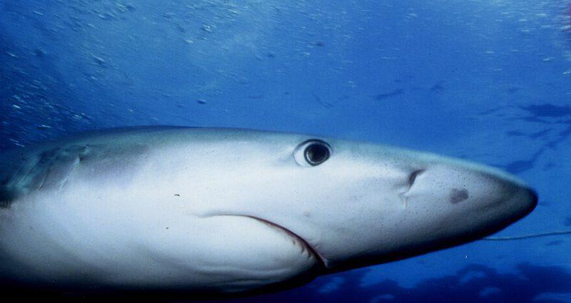 Blue shark. Photo: Josh Krancer/Flickr Creative Commons.