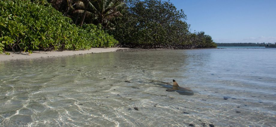 A blacktip reef shark exploring the shallows of St Joseph Atoll Photo by Clare Daly |© Save Our Seas Foundation