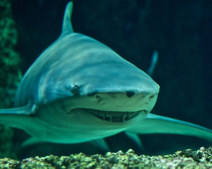 Sicklefin Lemon Shark. Photo: Wikpedia Creative Commons