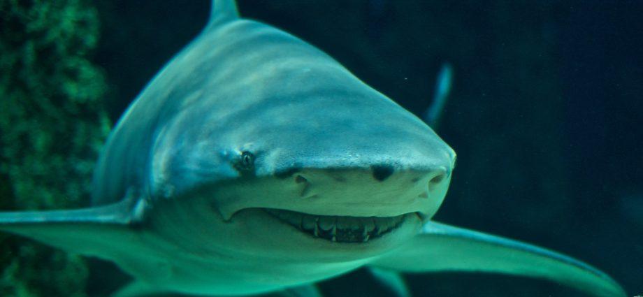 Sicklefin Lemon Shark. Photo: Wikpedia Creative Commons