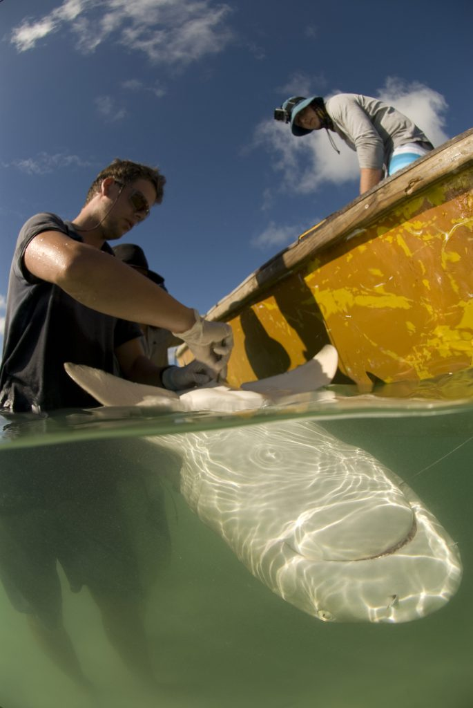 James Lea implanting an acoustic transmitter in a lemon shark Photo by Rainer von Brandis |© Save Our Seas Foundation