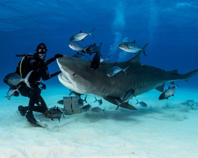 Tiger shark. Photo: Michael Vogelsang