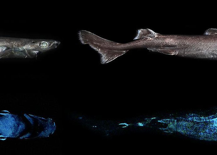Luminous sharks. Photo by the researchers.