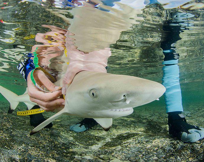 A juvenile blacktip reef shark having measurements taken. Photo: Luke Gordon/Save Our Seas Foundation.